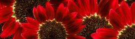 red-sunflowers-website-header